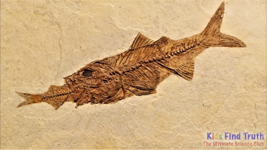 Fossil Fish Perch_000000