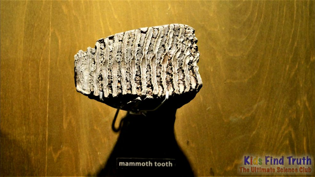 Mammoth_Tooth_000000
